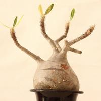 Pachypodium Gracilius パキポディウム  グラキリス  №9