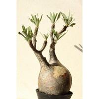 Pachypodium Gracilius パキポディウム  グラキリス  №11