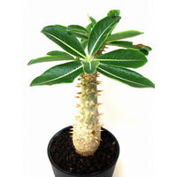 Pachypodium densiflorum シバ女王の玉櫛