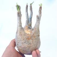 パキポディウム  グラキリス  新着輸入株 №4