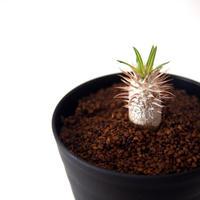 パキポディウム イノピナツム Pachypodium inopinatum no.2