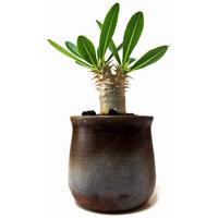 Pachypodium densiflorum シバ女王の玉櫛