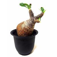 Pachypodium Gracilius パキポディウム  グラキリス  №5  little