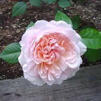 ピンク・グルース・アン・アーヒェン ※購入ご希望の方はお問い合わせください。