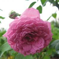 Lilac Dawn ※購入ご希望の方はお問い合わせください。