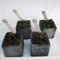 2018年産エンゲルマンスプルース黒信楽角型Sサイズ鉢苗(送料無料)