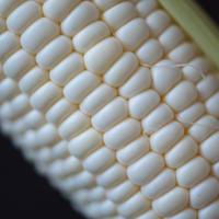 《20-24本》谷口めぐみ農園の白いトウモロコシ雪の妖精《予約販売》