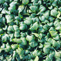 《発送》4kgめぐみ農園の甘〜い越冬小松菜