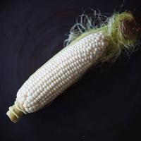 《10本》谷口めぐみ農園の白いトウモロコシ雪の妖精