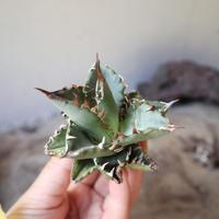アガベ   チタノタ  Agave  titanota    no.111003
