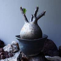 パキポディウム グラキリス Pachypodium rosulatum var. gracilius no.61608