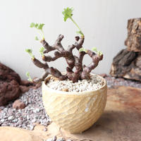 ペラルゴニム    ミラビレ no.010    Pelargonium mirabile