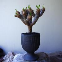 ユーフォルビア   ギラウミニアナ  Euphorbia guillauminiana  no.60220
