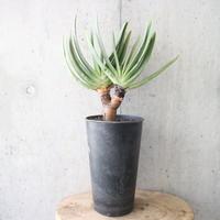 アロエ プリカティリス    no.001   Aloe plicatilis