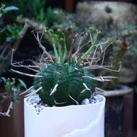 ユーフォルビア  バリダ/Euphorbia valida    no.60609