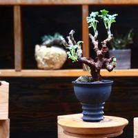 ペラルゴニム  ミラビレ/Pelargonium mirabile   no.91936