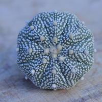 アストロフィツム   スーパー兜 抜き苗  Astrophytum asterias 'Super Kabuto'      no.207/24