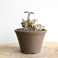 ユーフォルビア デカリー   no.001    Euphorbia decaryi