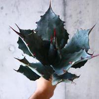 アガベ コロラータ   Agave colorat   no.10