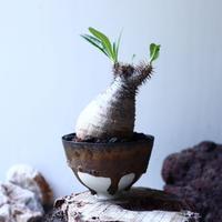 パキポディウム グラキリス Pachypodium rosulatum var. gracilius no.61610