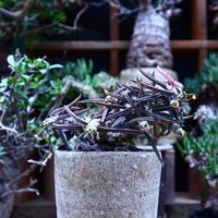 ユーフォルビア キリンドフォリア/Euphorbia cylindrifolia   no.60615