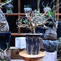 コミフォラ  ワイティ/Commiphora wightii   no.72550
