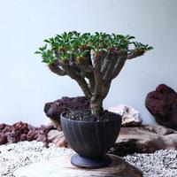 ユーフォルビア   ギラウミニアナ  Euphorbia guillauminiana  no.90101