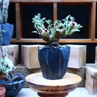 ペラルゴニウム  クリズミフォリウム/Pelargonium crithmifolium    no.  70430