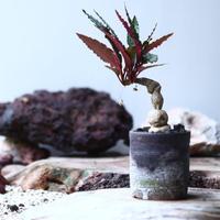 Euphorbia sp.nova ambongense   no.011
