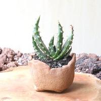アロエ アクレアータ クロウジアナ   no.006   Aloe aculeata var  crousiana