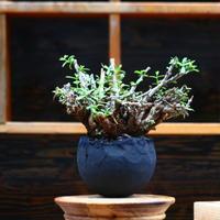 ケラリア フルチコーサ/Ceraria fruticosa  no.91959