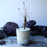ペラルゴニウム カルノーサム  Pelargonium carnosum  no.30108