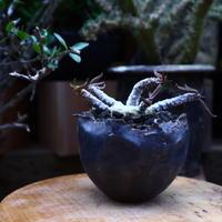 ユーフォルビア キリンドフォリア/Euphorbia cylindrifolia   no.60614