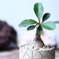 ユーフォルビア    ラメナ    Euphorbia  ramena  no.001
