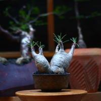 パキポディウム  グラキリス 2頭/Pachypodium  gracilius     no.101041