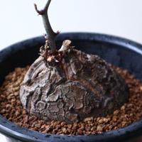 ディオスコレア   亀甲竜    Dioscorea elephantipe  no.923-11