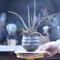 アロエ アルギロスタキス     Aloe argyrostachys     no.21415