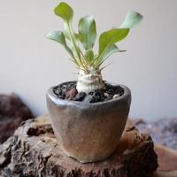 パキポディウム   ナマクアナム       光堂   no.007   Pachypodium namaquanum