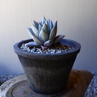 エケベリア  メキシカンジャイアント   Echeveria colorata 'Mexican Giant'.   no.40719