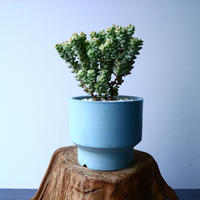 クラッスラ パステル    Crassula rupestris'Pastel No.039