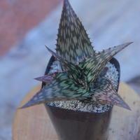 アロエ  ソマリエンシス  Aloe somaliensis     no.20706