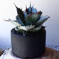 アガベ   ホワイトアイスブルー    Agave  titanota white ice blue   no.40709