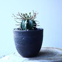 ユーフォルビア  バリダ    Euphorbia valida     no.21651