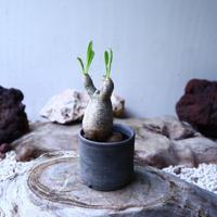 パキポディウム グラキリス   Pachypodium rosulatum var. gracilius no.102734