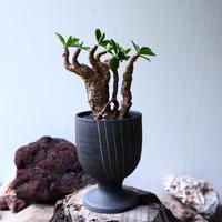 ユーフォルビア    イトレメンシス    Euphorbia itremensi  no.71434