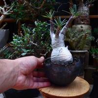 パキポディウム  グラキリス/Pachypodium  gracilius       no.60601
