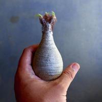 パキポディウム グラキリス 抜苗  Pachypodium rosulatum var. gracilius no.100631