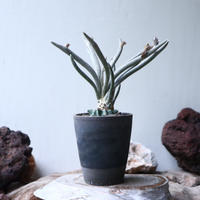 アストロフィツム カプト メデューサ  接木   Astrophytum caputmedusae    no.90809