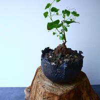 ディオスコレア   亀甲竜    Dioscorea elephantipe  No.022