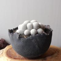 マミラリア 白鳥  群生   接おろし   no.001  Mammillaria herrerae
